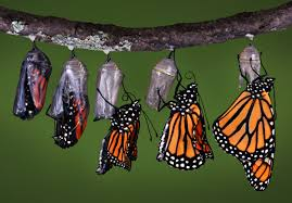 butterfly transformation image